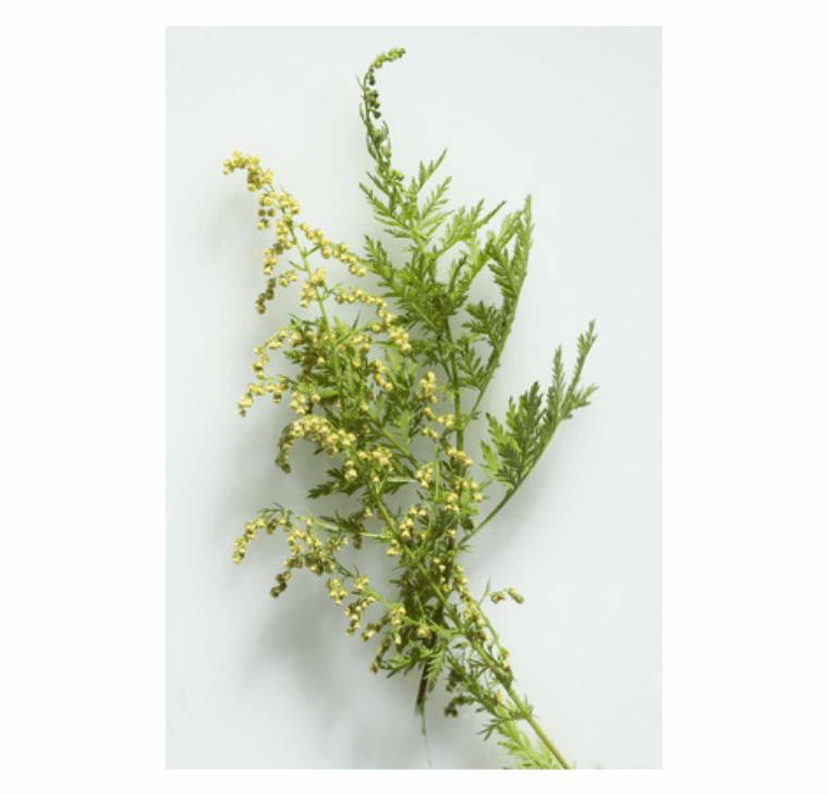 Artemisia Tee / Feinschnitt (100g) - MoringaGarden
